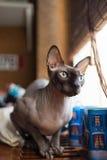 Gato canadiense del sphynx Fotografía de archivo