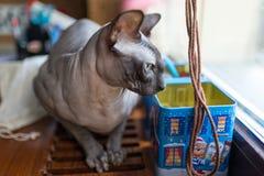 Gato canadiense del sphynx Imagenes de archivo