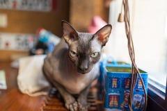 Gato canadiense del sphynx Fotos de archivo