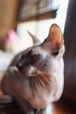 Gato canadiense del sphynx Foto de archivo libre de regalías