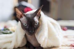 Gato canadiense del sphynx Imágenes de archivo libres de regalías