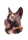 Gato canadiense joven de la esfinge Fotografía de archivo libre de regalías