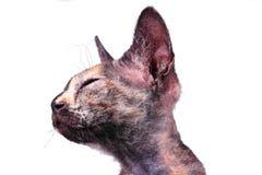 Gato canadiense joven de la esfinge Fotos de archivo libres de regalías