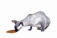 Gato canadiense negro o azul del sphynx con los ojos verdes que come la comida para gatos seca Fotos de archivo libres de regalías
