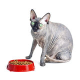 Gato canadiense negro o azul del sphynx con los ojos verdes que come la comida para gatos seca Fotografía de archivo