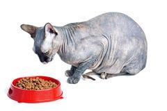 Gato canadiense negro o azul del sphynx con los ojos verdes que come la comida para gatos seca Fotografía de archivo libre de regalías