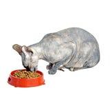 Gato canadiense negro o azul del sphynx con los ojos verdes que come la comida para gatos seca Imagen de archivo libre de regalías