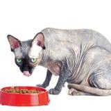 Gato canadiense negro o azul del sphynx con los ojos verdes que come la comida para gatos seca Foto de archivo