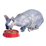 Gato canadiense negro o azul del sphynx con los ojos verdes que come la comida para gatos seca Imágenes de archivo libres de regalías