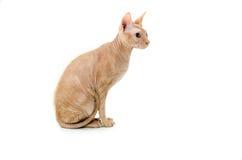 Gato, canadiense Sphynx, cierre para arriba, aislado en el fondo blanco imágenes de archivo libres de regalías