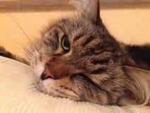 Gato cansado Foto de archivo