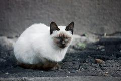 Gato casero del animal doméstico Fotografía de archivo