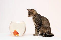 Gato casero y un pescado del oro. Foto de archivo