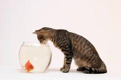 Gato casero y un pescado del oro. Imagen de archivo libre de regalías