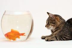 Gato casero y un pescado del oro. Fotografía de archivo libre de regalías