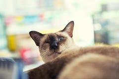 Gato cego Imagem de Stock