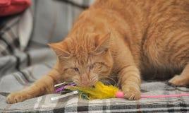 Gato cego do gengibre Foto de Stock