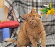 Gato cego do gengibre Imagens de Stock Royalty Free