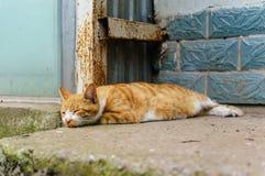 Gato chinês - Dragão-Li Foto de Stock