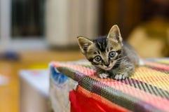 Gato chinês - Dragão-Li Fotografia de Stock