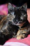Gato ciego perjudicado Fotos de archivo