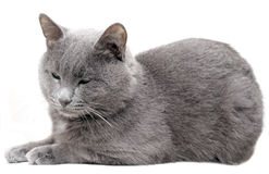 Gato cinzento #2 Imagens de Stock Royalty Free