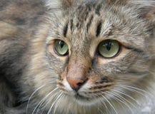 Gato cinzento Imagens de Stock Royalty Free