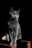 Gato cinzento foto de stock royalty free