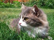 Gato cinzento Foto de Stock