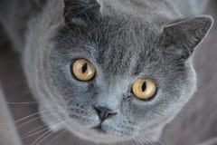 Gato cinzento Fotos de Stock Royalty Free