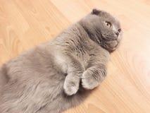 Gato cinzento bonito, dobra escocesa da raça, encontrando-se nas patas do assoalho acima imagem de stock royalty free
