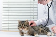 Gato cinzento bonito em uma clínica veterinária examinada por um doutor foto de stock