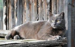 Gato cinzento bonito que encontra-se na cerca de madeira do fundo fotos de stock royalty free