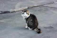gato Cinzento-branco fotografia de stock royalty free