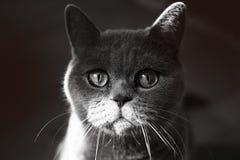 Gato cinzento britânico Imagens de Stock Royalty Free