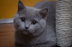 Gato cinzento britânico de cabelos curtos imagens de stock royalty free
