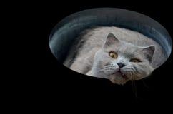 Gato cinzento britânico em um tubo isolado em um fundo preto Fotografia de Stock