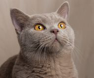 Gato cinzento britânico, focinho aumentado, olhos amarelos perto acima Fotografia de Stock