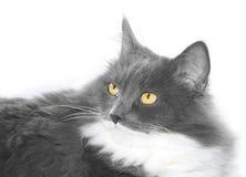 Gato cinzento com olhos alaranjados Fotos de Stock Royalty Free