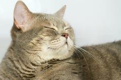 Gato cinzento com olhos amarelos Imagens de Stock