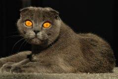 Gato cinzento da dobra de Scotitish que liying fotos de stock royalty free
