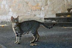 Gato cinzento da rua foto de stock
