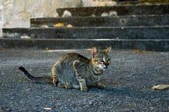 Gato cinzento da rua pronto para caçar imagens de stock