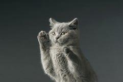 Gato cinzento de cabelos curtos britânico Imagens de Stock Royalty Free