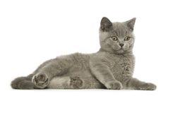 Gato cinzento de cabelos curtos britânico Fotografia de Stock Royalty Free