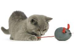 Gato cinzento de cabelos curtos britânico Foto de Stock