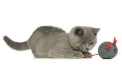 Gato cinzento de cabelos curtos britânico Fotografia de Stock