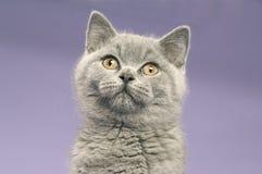 Gato cinzento de cabelos curtos britânico Foto de Stock Royalty Free