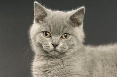 Gato cinzento de cabelos curtos britânico Imagem de Stock Royalty Free