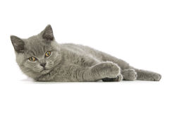 Gato cinzento de cabelos curtos britânico Imagem de Stock